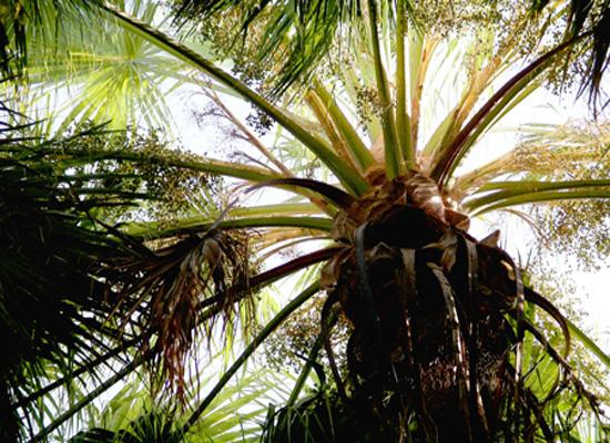 Beautiful big palm - Kakadu National Park : Kakadukid