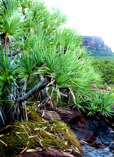 Pandanus Nawurlandja - Kakadu National Park : Kakadukid